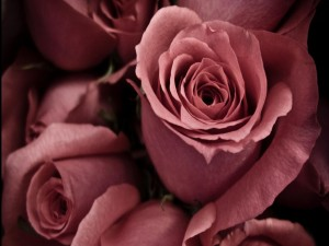 Varias rosas