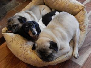 Tres perros tumbados en su cesto