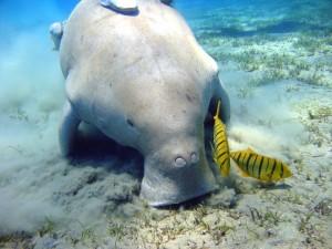 Dugongo buscando comida en el fondo marino
