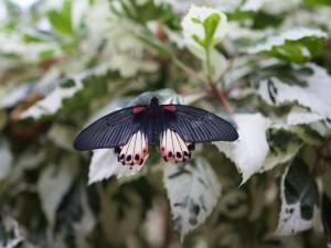 Una mariposa negra posada en la hoja de una planta