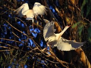 Aves blancas en las ramas de un árbol