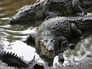 Grupo de cocodrilos americanos