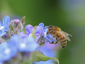 Abeja en unas pequeñas y brillantes flores de color lila