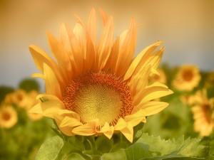 Atractiva flor de girasol