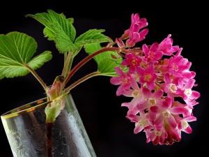 Rama de frambuesa florecida