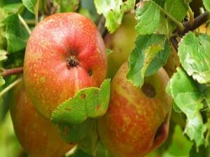 Manzanas colgadas en el árbol