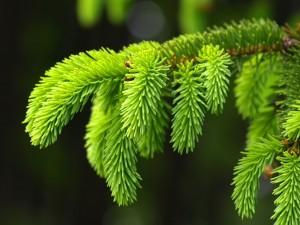 Rama verde de abeto