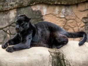 Pantera negra descansando sobre una piedra