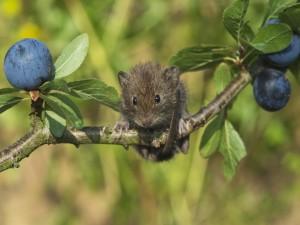 Ratón sobre la rama de un ciruelo