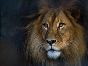 León mirando lejos