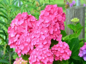 Hortensias rosadas en la planta