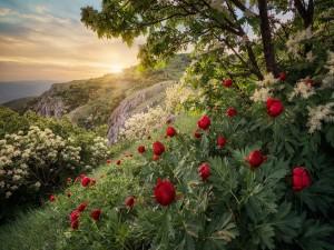 Peonías rojas y arbustos con flores blancas creciendo en una ladera