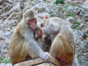 Hembras de macaco cuidando a sus bebés