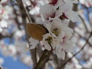 Almendro en flor y con un fruto