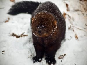 Marta pescadora en la nieve