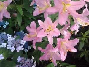 Liliums rosas creciendo en un jardín