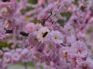 Abeja en la rama de un árbol en flor