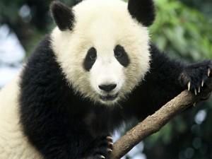 La mirada de un panda gigante