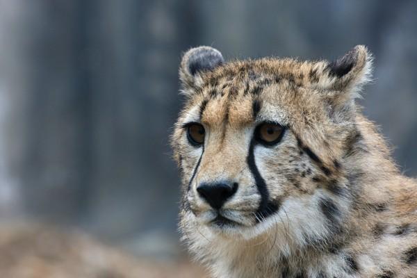 La cara de un guepardo