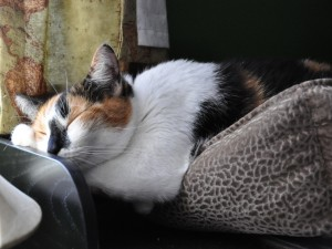 Gato americano de pelo corto dormido