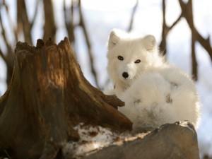 La mirada de un bonito zorro blanco