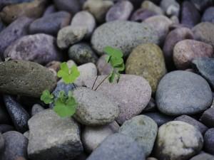 Tréboles creciendo entre las piedras