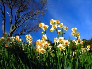 Hermosos narcisos creciendo bajo un cielo azul