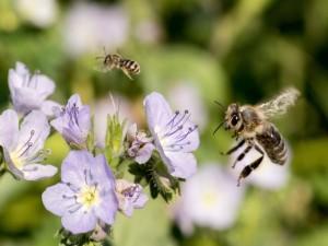 Dos abejas volando junto a unas flores