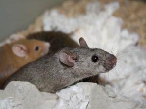 Un ratón gris junto a otro marrón