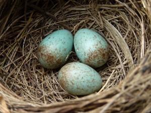Huevos verdes en un nido