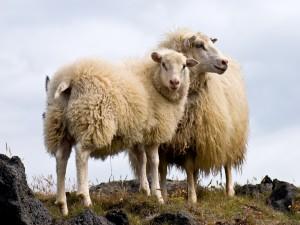 Dos ovejas lanudas en las montañas