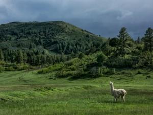 Llama caminando en unas colinas verdes