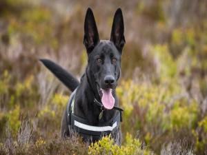 Un perro pastor con la lengua afuera