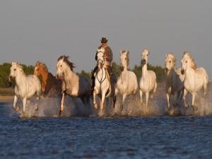 Vaquero con una manada de caballos cruzando el río