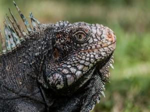 Perfil de una iguana verde