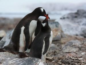 Dos pingüinos sobre unas piedras