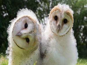 Dos jóvenes lechuzas
