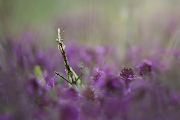 Mantis entre unas flores de lavanda