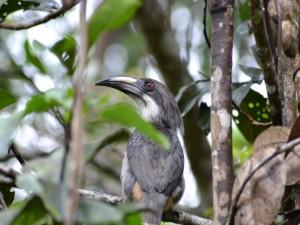 Cálao de Sri Lanka (Ocyceros gingalensis)