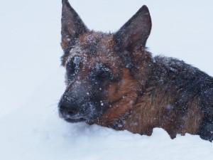 Perro hundido en la nieve