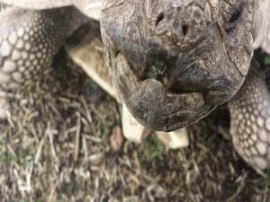 La boca de una gran tortuga