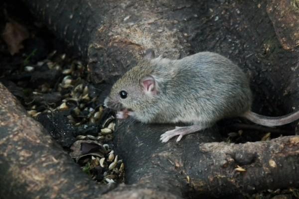 Ratón buscando semillas entre las raíces de un árbol