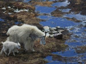 Pequeña cabra blanca junto a su madre