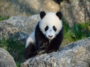 Pequeño oso panda caminando sobre unas rocas