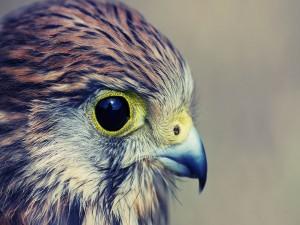 Perfil de un halcón