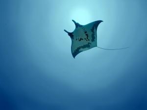 Manta raya nadando cerca de la superficie