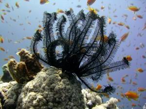 Peces nadando junto un lirio de mar negro (Comaster schlegelii)