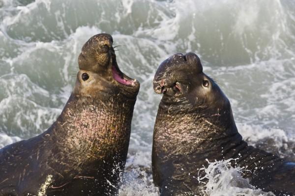 Elefantes marinos enfrentados