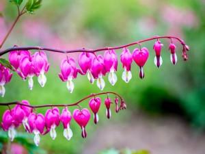 Lamprocapnos en flor