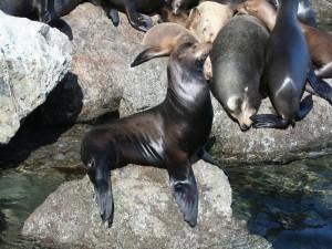Leones marinos durmiendo sobre unas rocas
